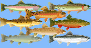 Species of salmon